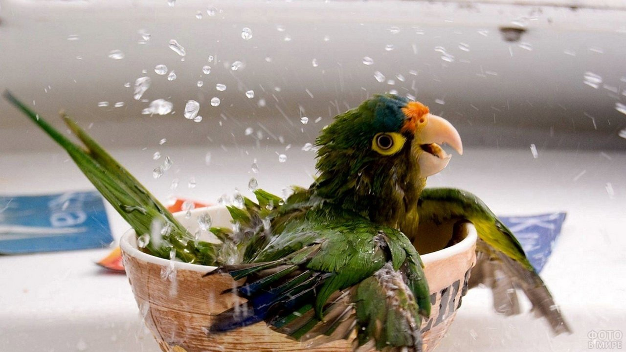 Попугай купается в домашней посуде