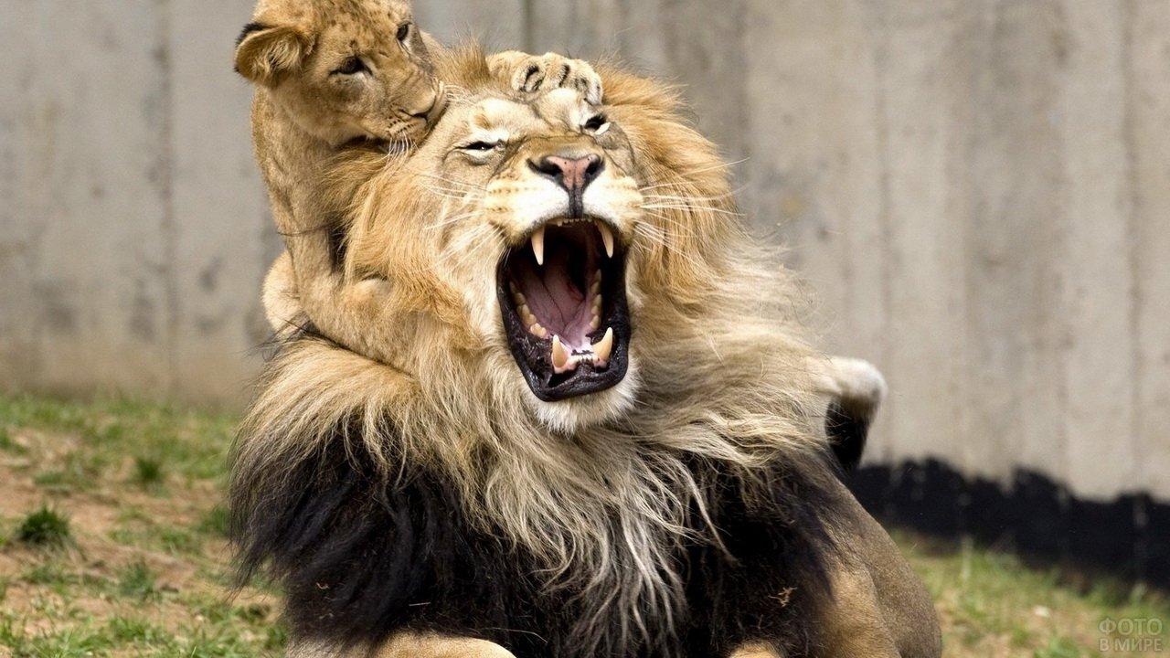 Ревнивая львица