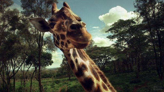Селфи жирафа