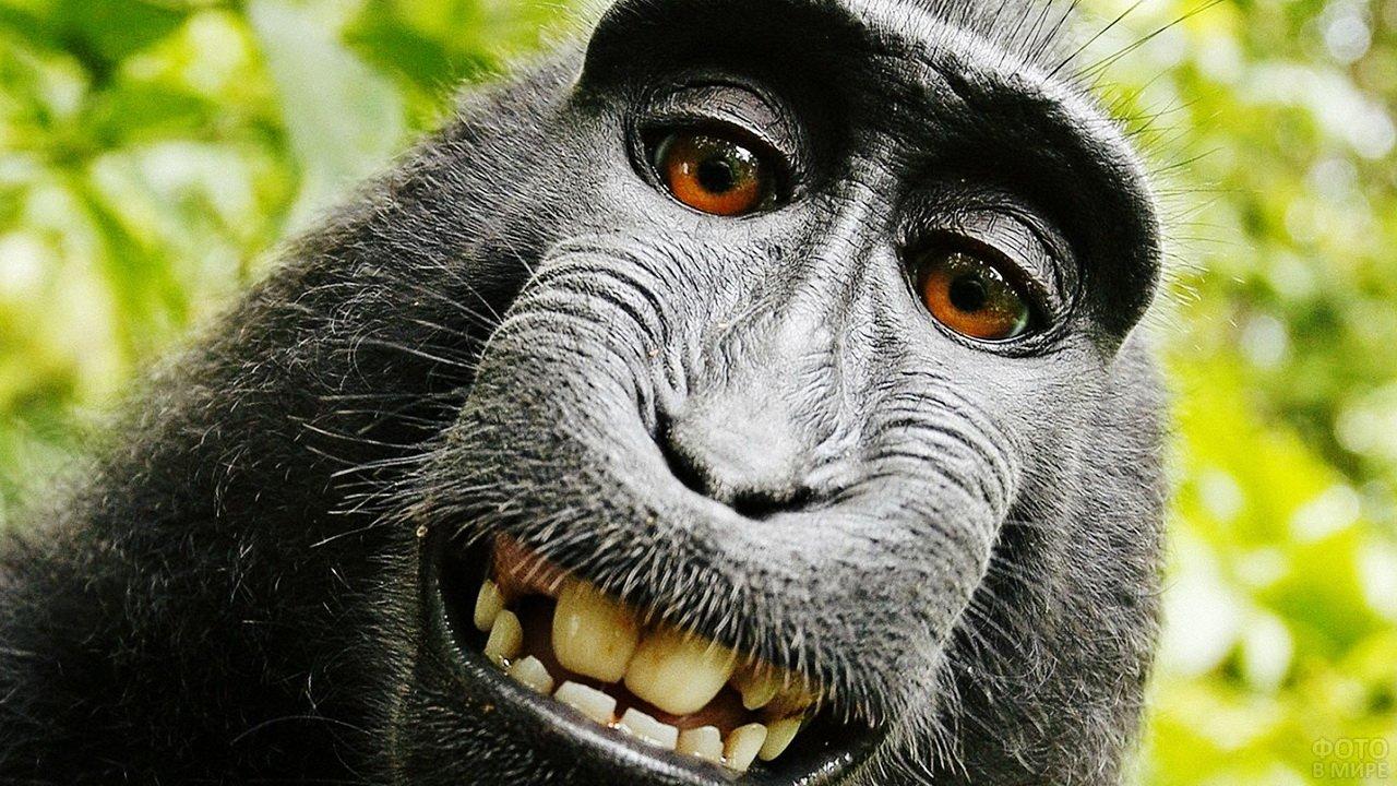 Сэлфи обезьяны