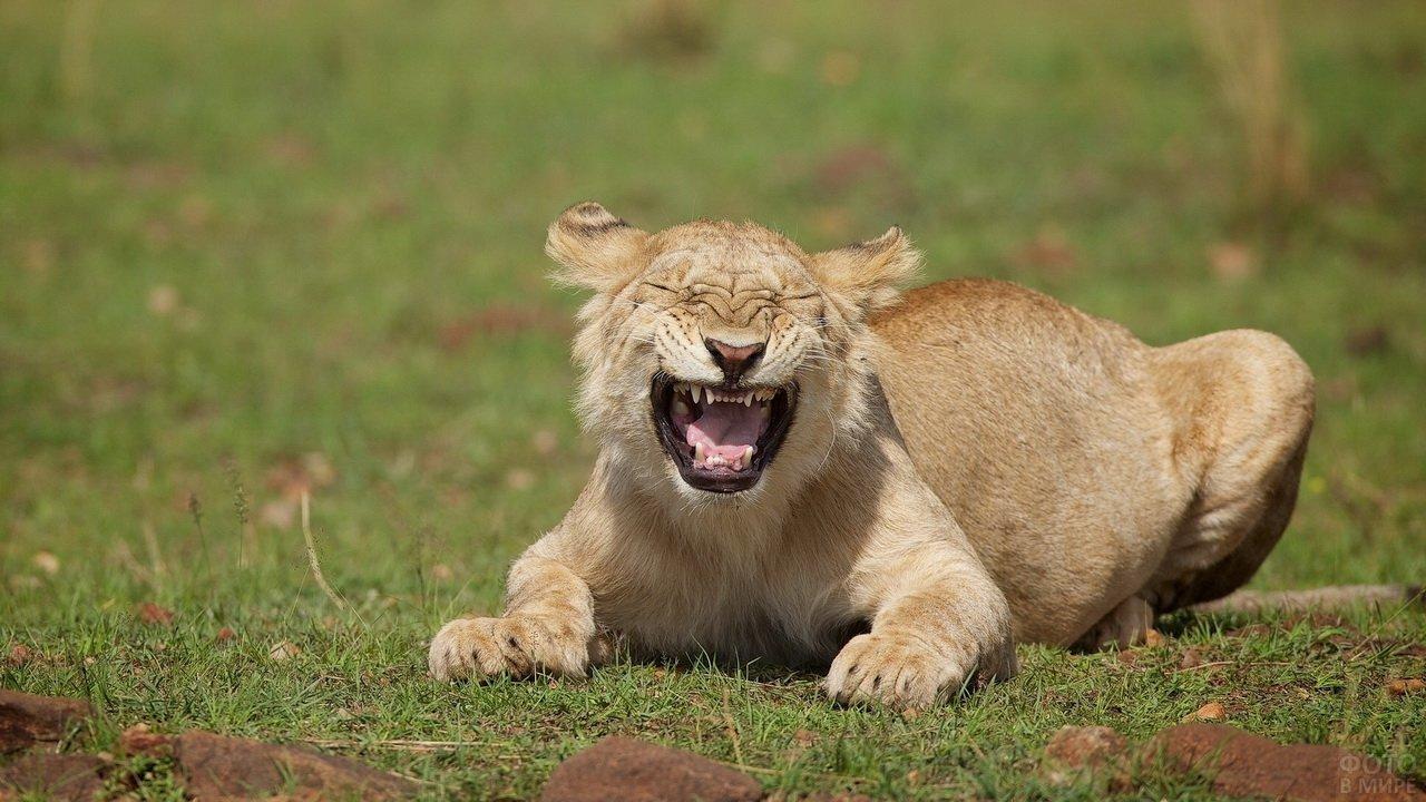 Смеющаяся львица