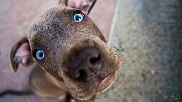 Смешная морда голубоглазого пса