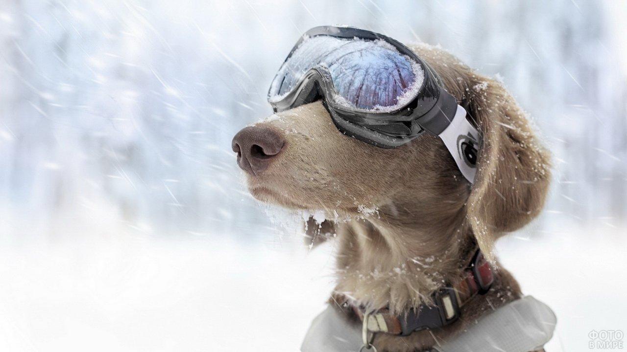 Собака в лыжных очках