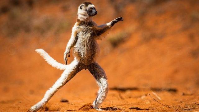 Танцующий лемур