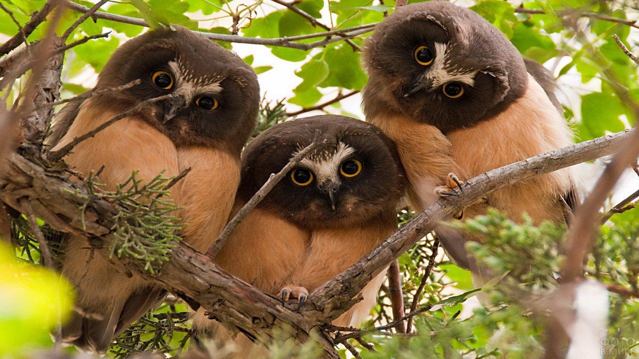 Три забавных совёнка на ветке
