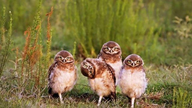 Весёлые совята на лужайке