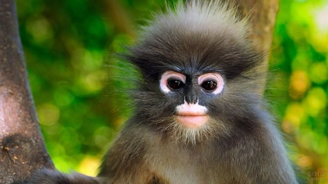 Взъерошенная обезьяна