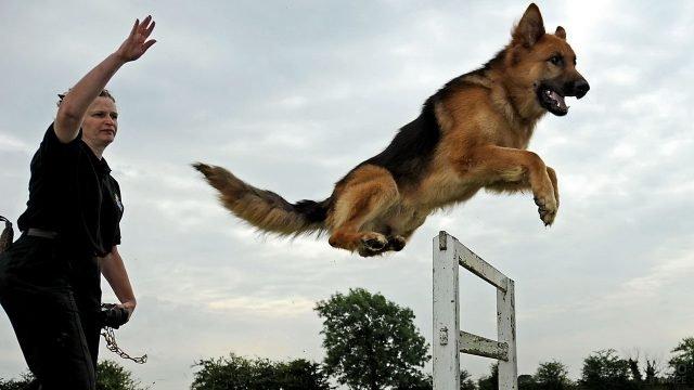 Кинолог учит собаку прыгать через барьер