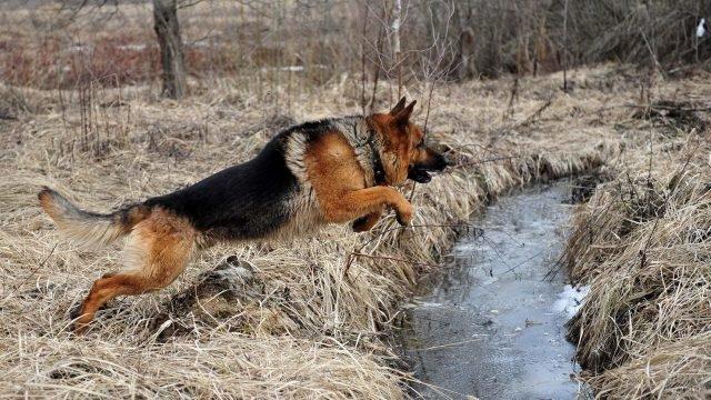 Овчарка прыгает через замёрзший ручей осенью