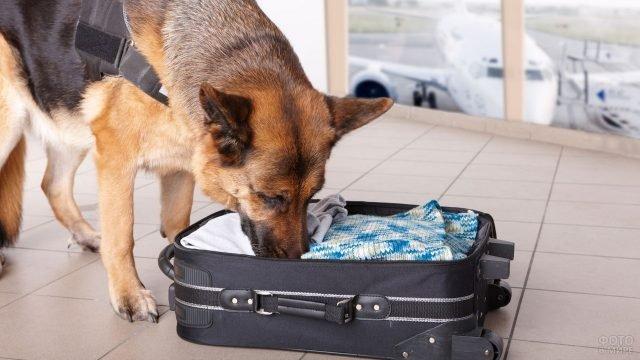 Пёс обыскивает сумку в аэропорту
