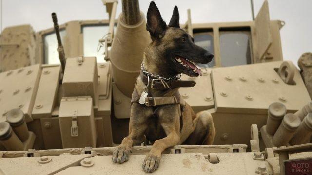 Пёс сидит на танковой броне