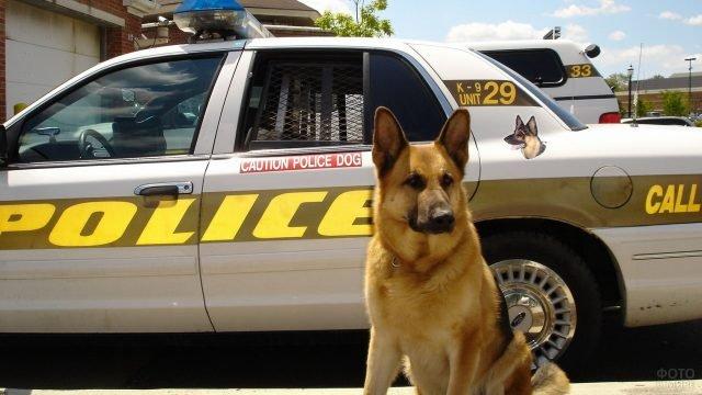 Полицейская овчарка на фоне полицейской машины
