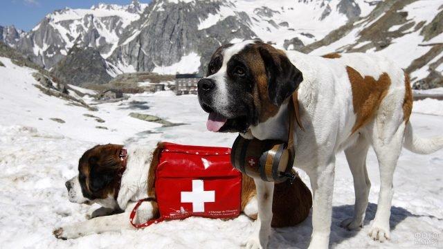 Сенбернары-спасатели с медицинской аптечкой и бочёнком воды