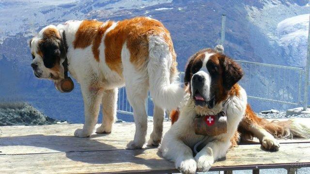 Сенбернары-спасатели в горах