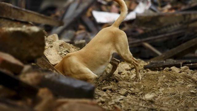 Собака спасатель ищет выживших в завале