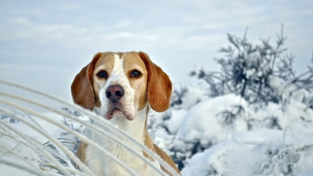 Бигль на природе зимой