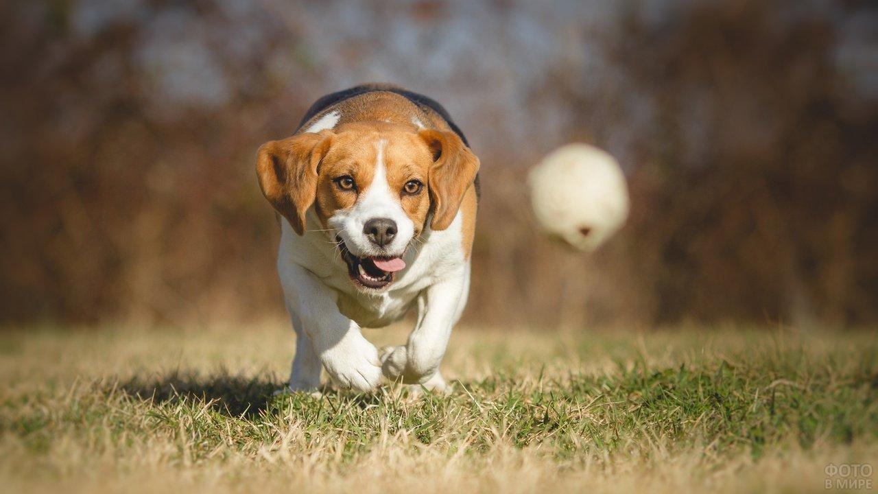 Бигль радостный бежит по лужайке