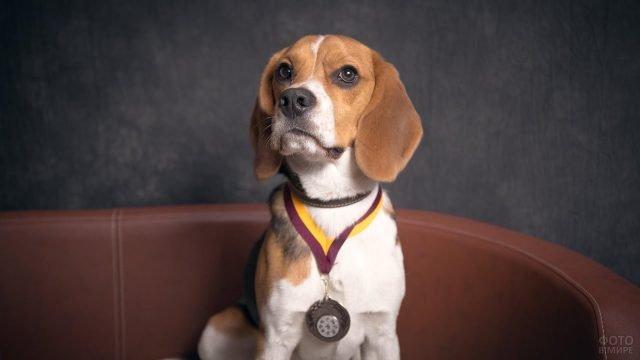 Бигль с медалью на шее