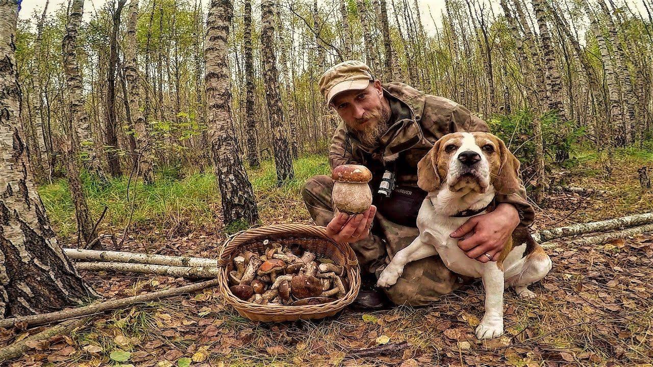 Бигль в лесу с хозяином и грибы