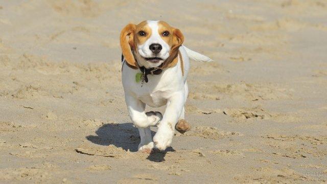 Радостный бигль бежит по песку