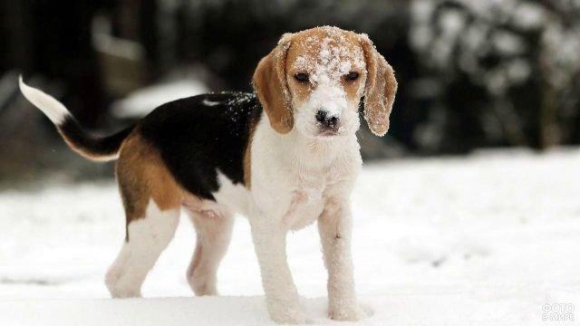 Собака бигль на прогулке зимой
