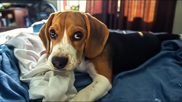Собака бигль отдыхает на кровати