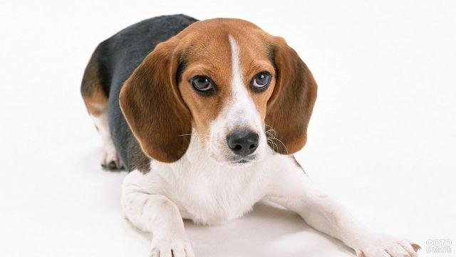 Собака породы бигль на белом фоне