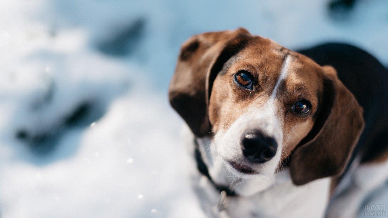 Собака смотрит преданным взглядом