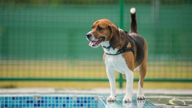Собака возле бассейна