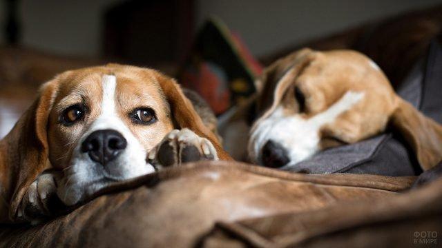 Собаки породы бигль отдыхают