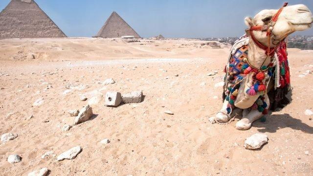 Уставший верблюд на фоне пирамид