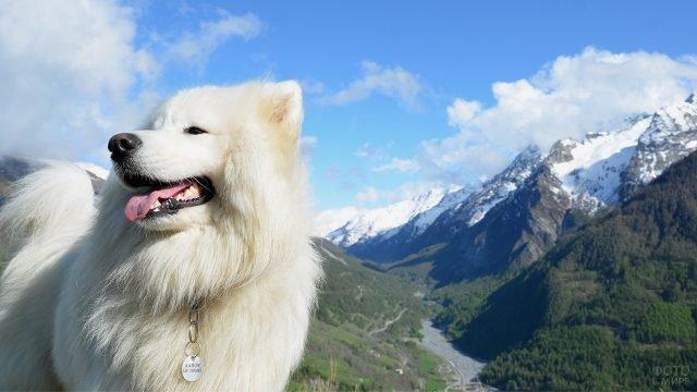 Красивый самоед в горах
