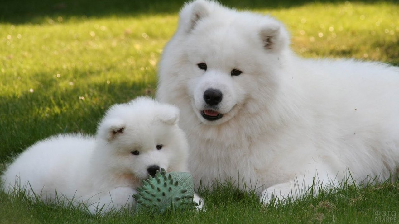 Мама-самоед с щеночком отдыхают на природе