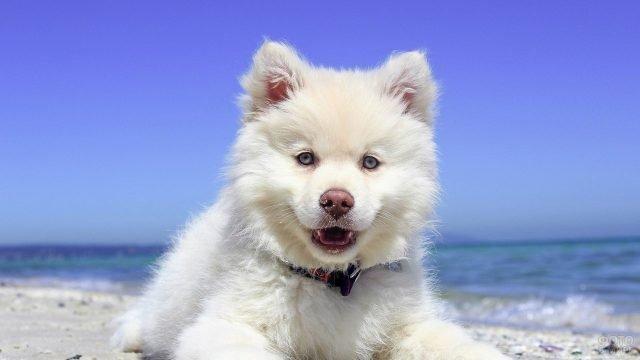 Милый щеночек смотрит в камеру