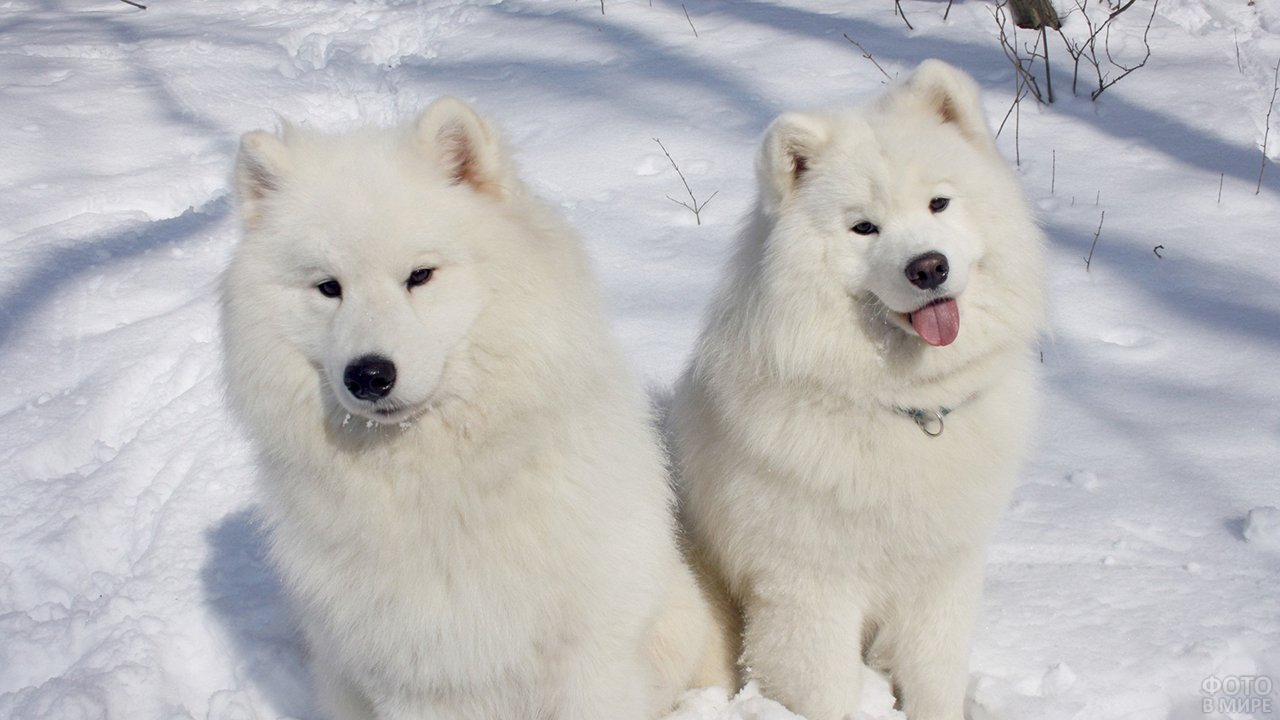 Пара самоедов на природе зимой