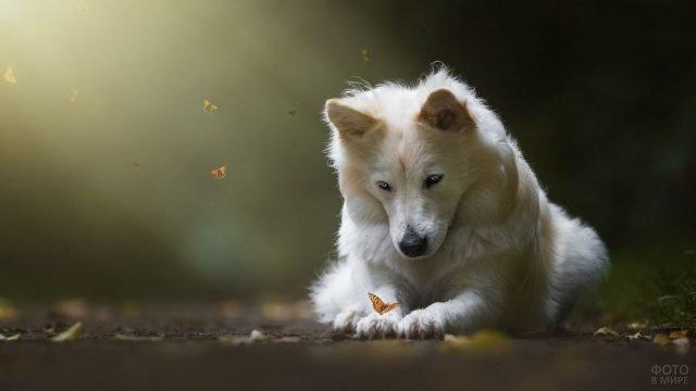 Пёсик самоеда рассматривает красивую бабочку