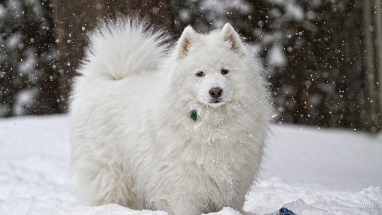 Самоед на прогулке зимой