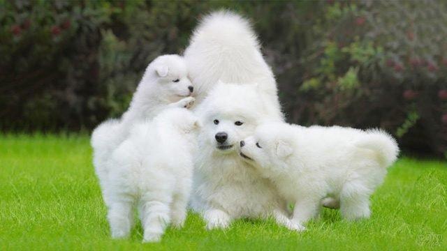 Семейство самоедов играет на лужайке