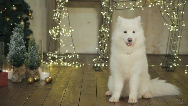 Собака самоед и новогодняя атмосфера