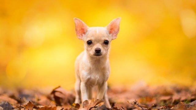 Чихуахуа среди осенних листьев