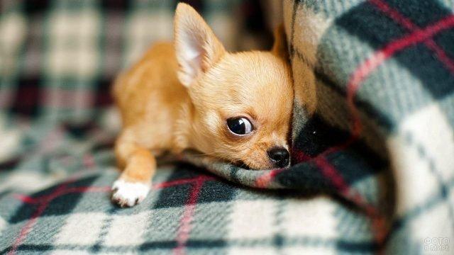 Чихуахуа выглядывает из-под одеяла