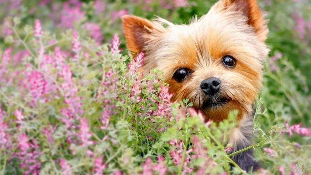 Йоркширский терьер среди цветов