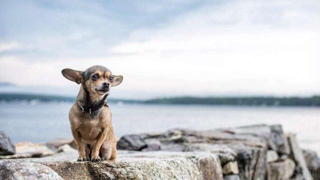 Маленькая собачка стоит на камнях у моря
