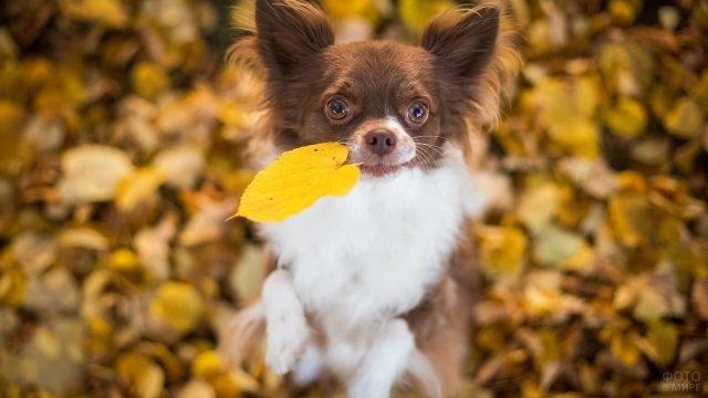 Маленький пёс держит в зубах листик