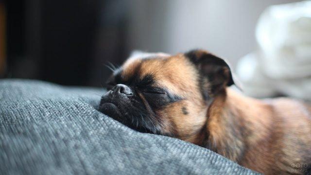 Мопс спит на одеялке