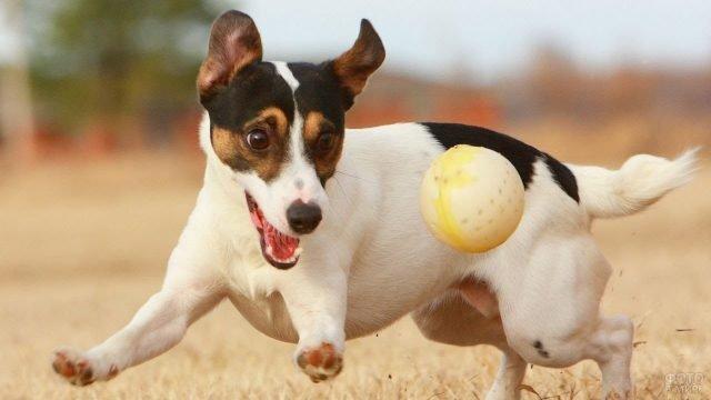 Радостная собака играет с мячиком