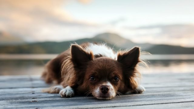 Собачка лежит и смотрит перед собой