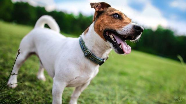 Собака стоит на лужайке, высунув язык