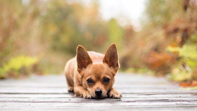 Собака задумчиво смотрит