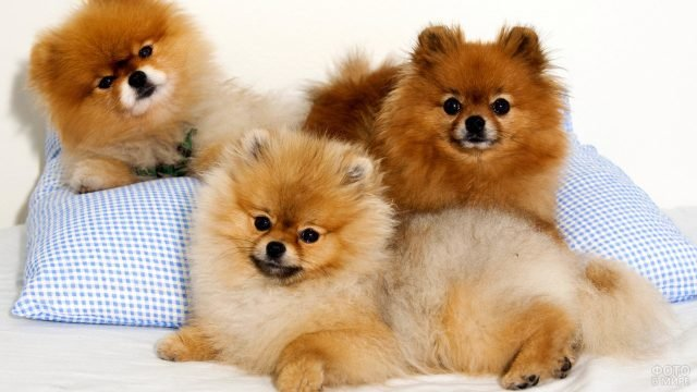 Три собаки лежат на подушках